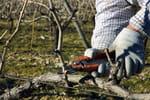 Vigne vierge plantation entretien et taille de cette - Quand tailler une vigne ...