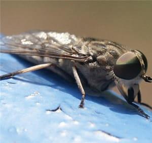 les piqûres de taon sont douloureuses, que vous soyez allergique ou pas.