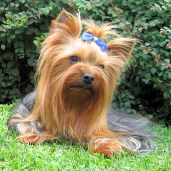 40 races de petits chiens