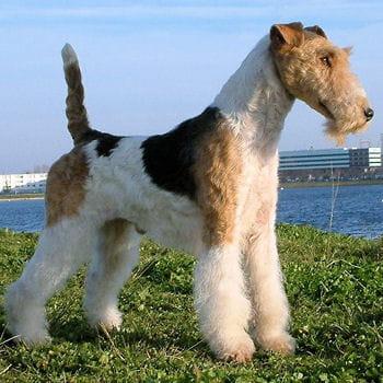 Le fox terrier 40 races de petits chiens journal des - A poil dans son jardin ...