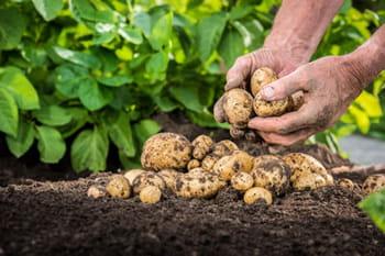 Quand planter les pommes de terre ?