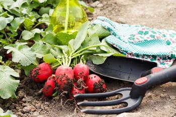 Quand semer les radis journal des femmes - Quand cueillir les radis ...