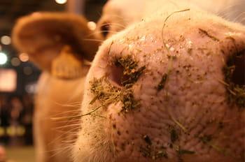 Les animaux du salon de l'agriculture