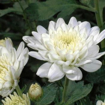 Chrysanth me dans toutes les pi ces - Chrysantheme entretien ...