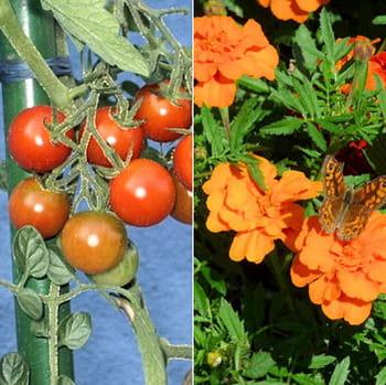 tomate cerise et œillet d'inde.