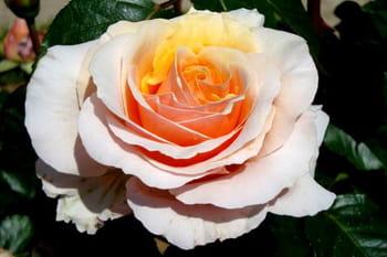 Des roses plus belles les unes que les autres
