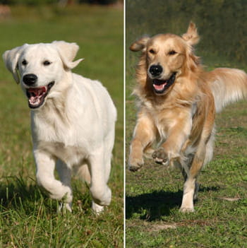 Labrador / golden retriever : le match