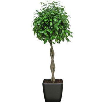 Ficus tress un tronc noueux original des plantes pour meubler son int ri - Plante interieur originale ...