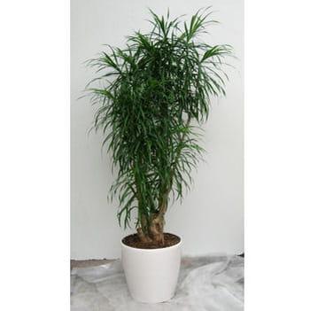 Pleomele anita ramifi une tropicale peu connue des for Plantes tropicales d interieur