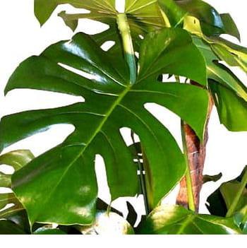 Petit philodendron de grandes feuilles g n reuses des for Grandes plantes vertes