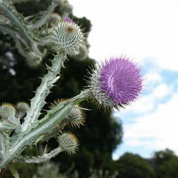 Le chardon d 39 ecosse ces fleurs aux noms d 39 animaux journal des femmes - Le chardon d ecosse ...