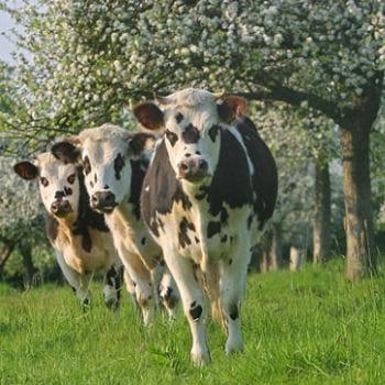 vaches normandes sous les pommiers