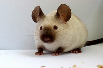 Franklin, une adorable souris siamoise