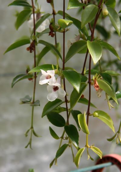 Codonanthe Retombante 10 Plantes D 39 Int Rieur Suspendre