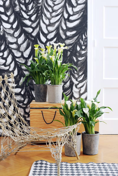 le zantedeschia aethiopica zoom sur le zantedeschia. Black Bedroom Furniture Sets. Home Design Ideas