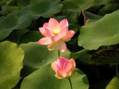 le magnifique lotus la fleur du mois journal des femmes. Black Bedroom Furniture Sets. Home Design Ideas