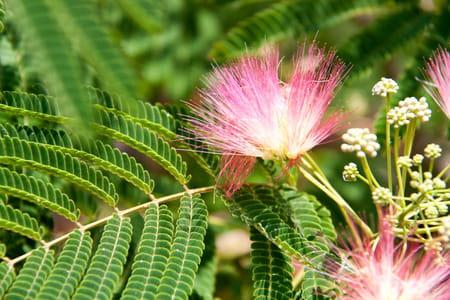 Quel arbre original planter dans le jardin journal des for Taille d un albizia