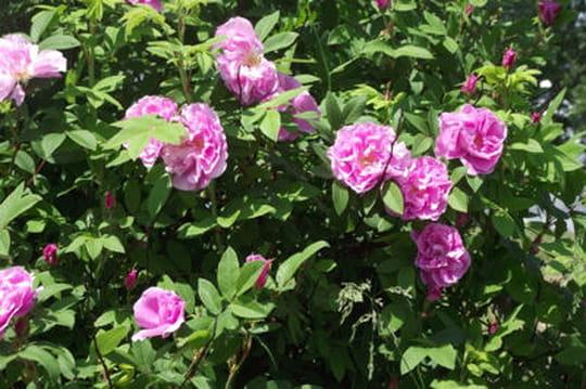 Quelles astuces pour lutter contre la chlorose du rosier journal des femmes - Feuilles de rosier qui jaunissent ...
