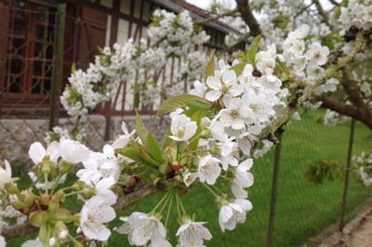 Quand planter un cerisier journal des femmes for Jardin quand planter