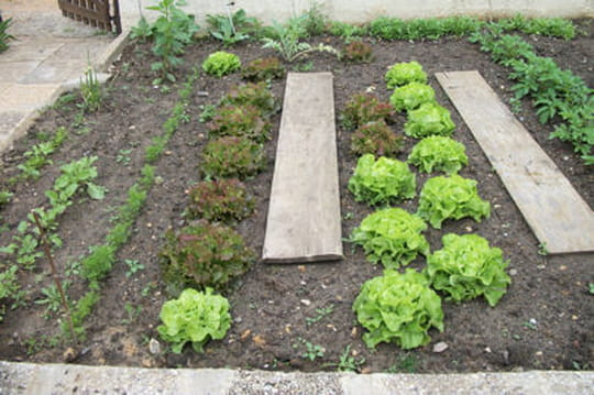 Quand planter les salades journal des femmes for Jardin quand planter