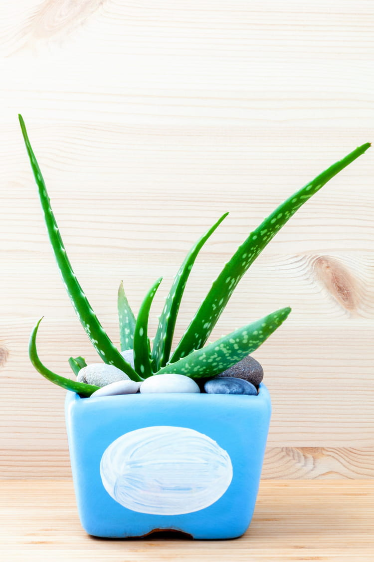 L 39 aloe vera plante d 39 int rieur chaque pi ce de la - Plante aloe vera chambre ...