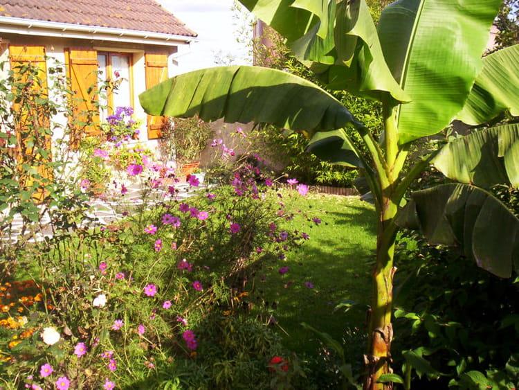 Bananier des jardins m diterran ens exotiques journal - Faire pousser un bananier ...