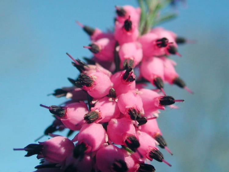 la bruy re aux clochettes roses des fleurs d 39 automne qui gayent les jardins journal des femmes. Black Bedroom Furniture Sets. Home Design Ideas