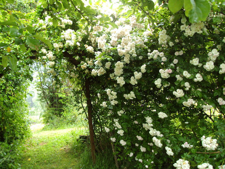 Sous les roses blanches for Jardin anglais en angleterre