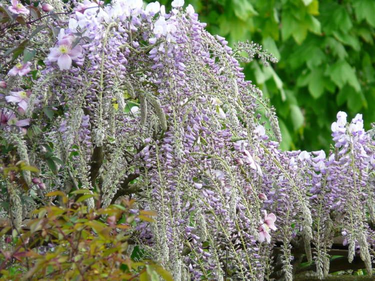 Une glycine fournie visite d 39 un foisonnant jardin l for Jardin anglais mixed border