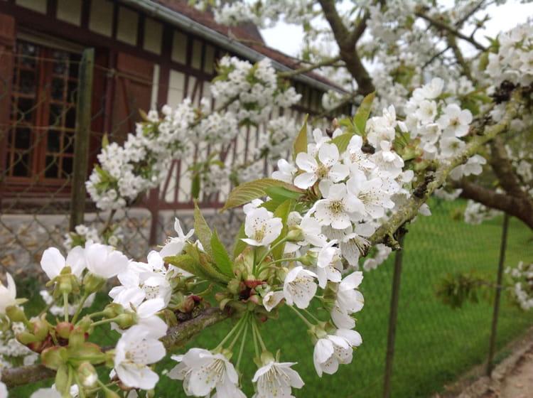 Quand planter un cerisier - Comment planter un cerisier ...