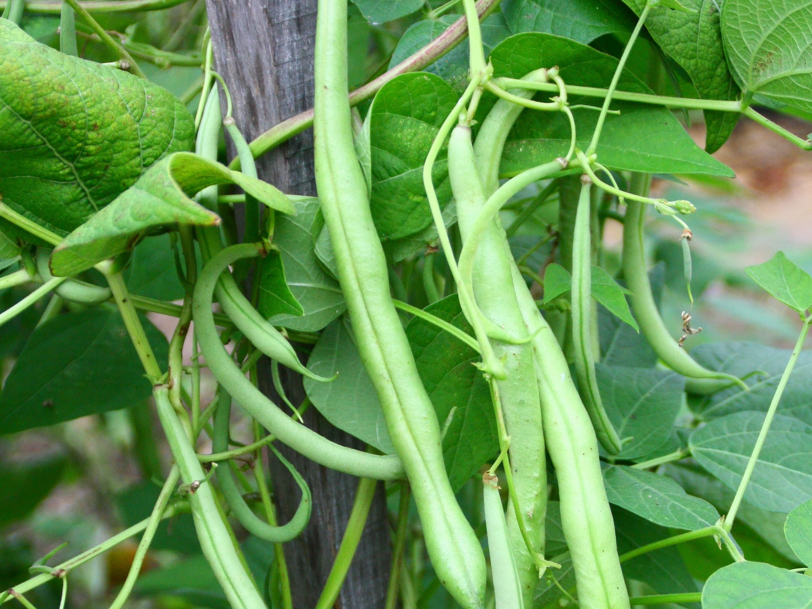 Haricots verts : le semis - Gerbeaud