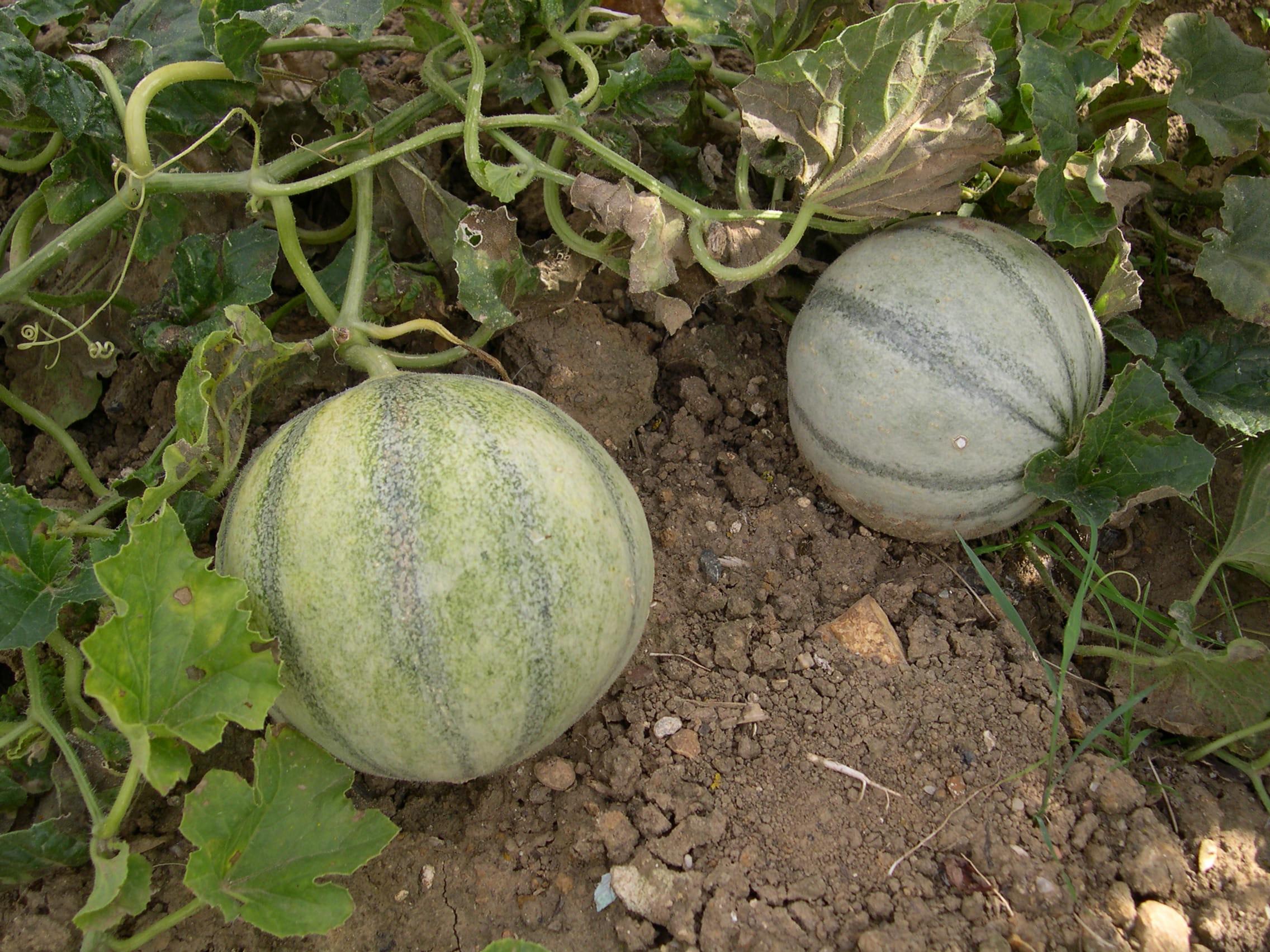 Cultiver des melons journal des femmes - Quand cueillir un melon ...