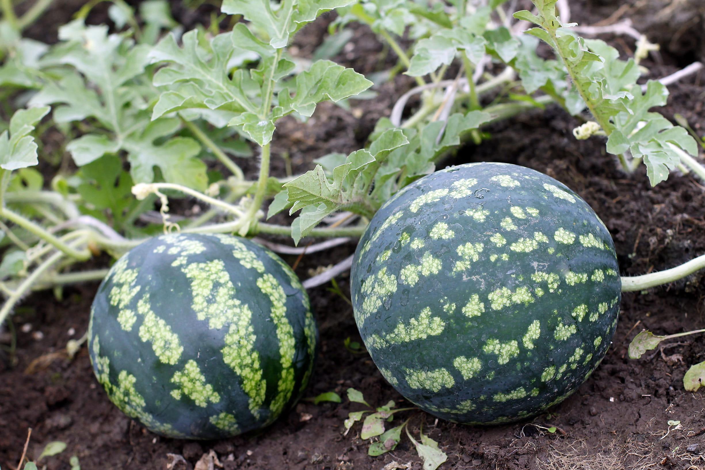 Cultiver des past ques journal des femmes - Quand cueillir un melon ...