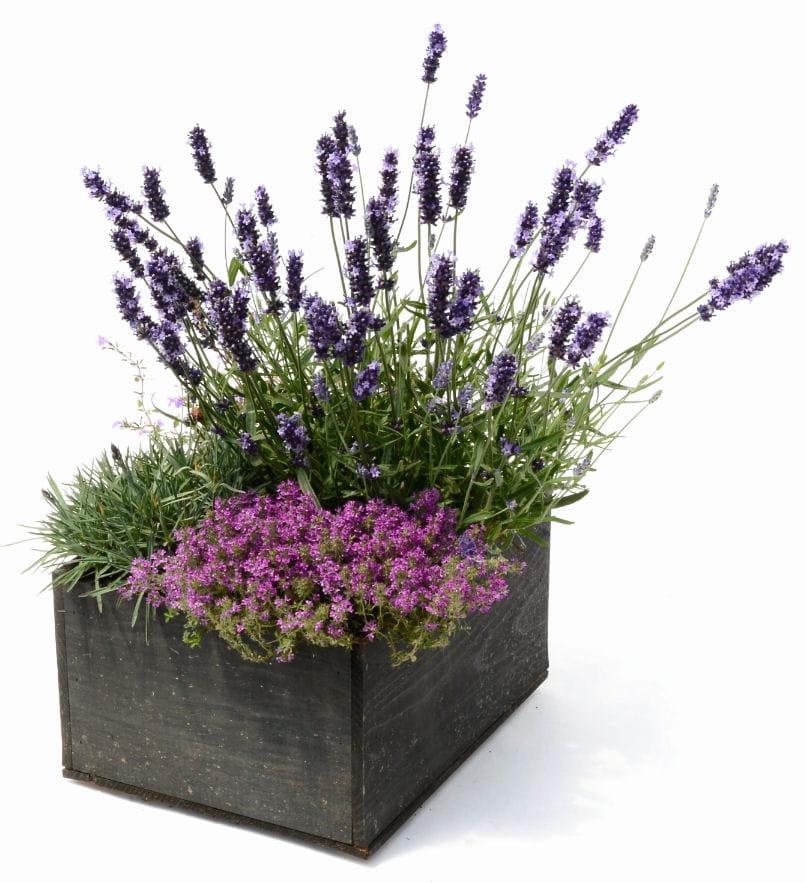 lavande thym serpolet et oeillet nain des mini jardins dans des caisses vin journal des. Black Bedroom Furniture Sets. Home Design Ideas