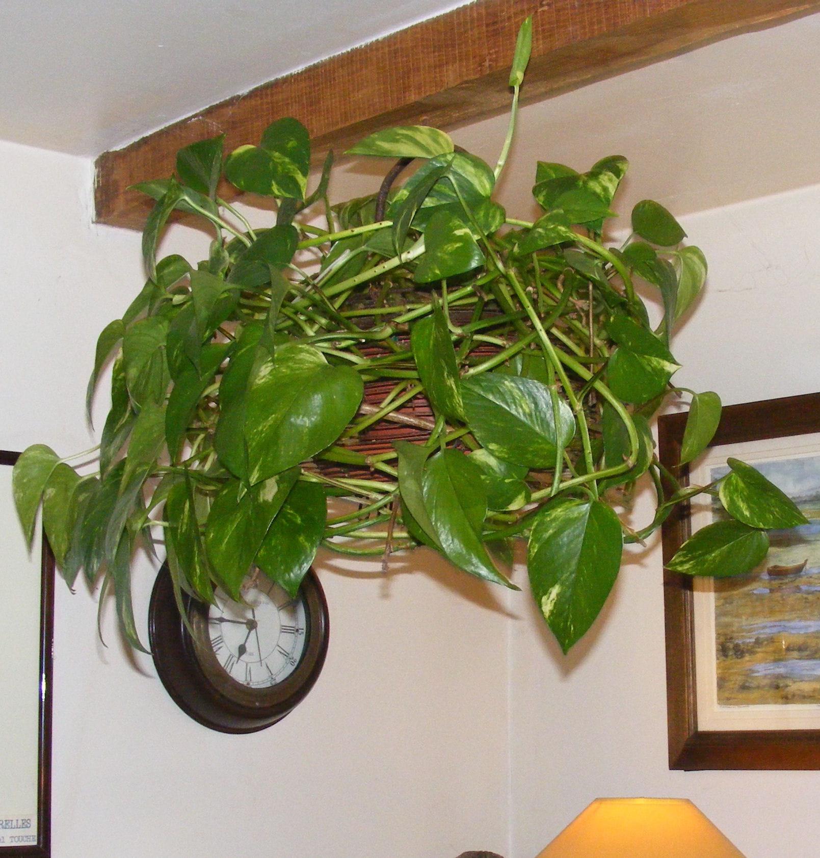 Scindapsus suspendu 10 plantes d 39 int rieur suspendre for Chaine de coeur plante entretien