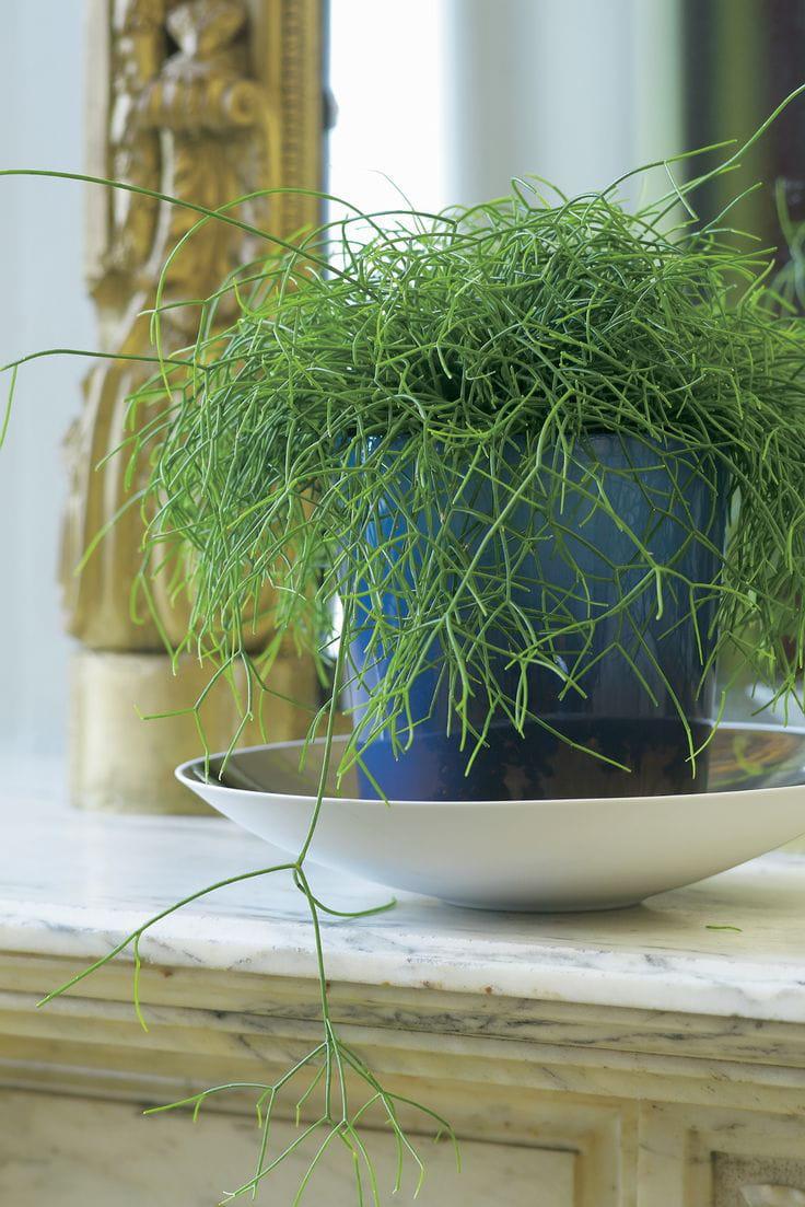 rhipsalis tombant 10 plantes d 39 int rieur suspendre. Black Bedroom Furniture Sets. Home Design Ideas