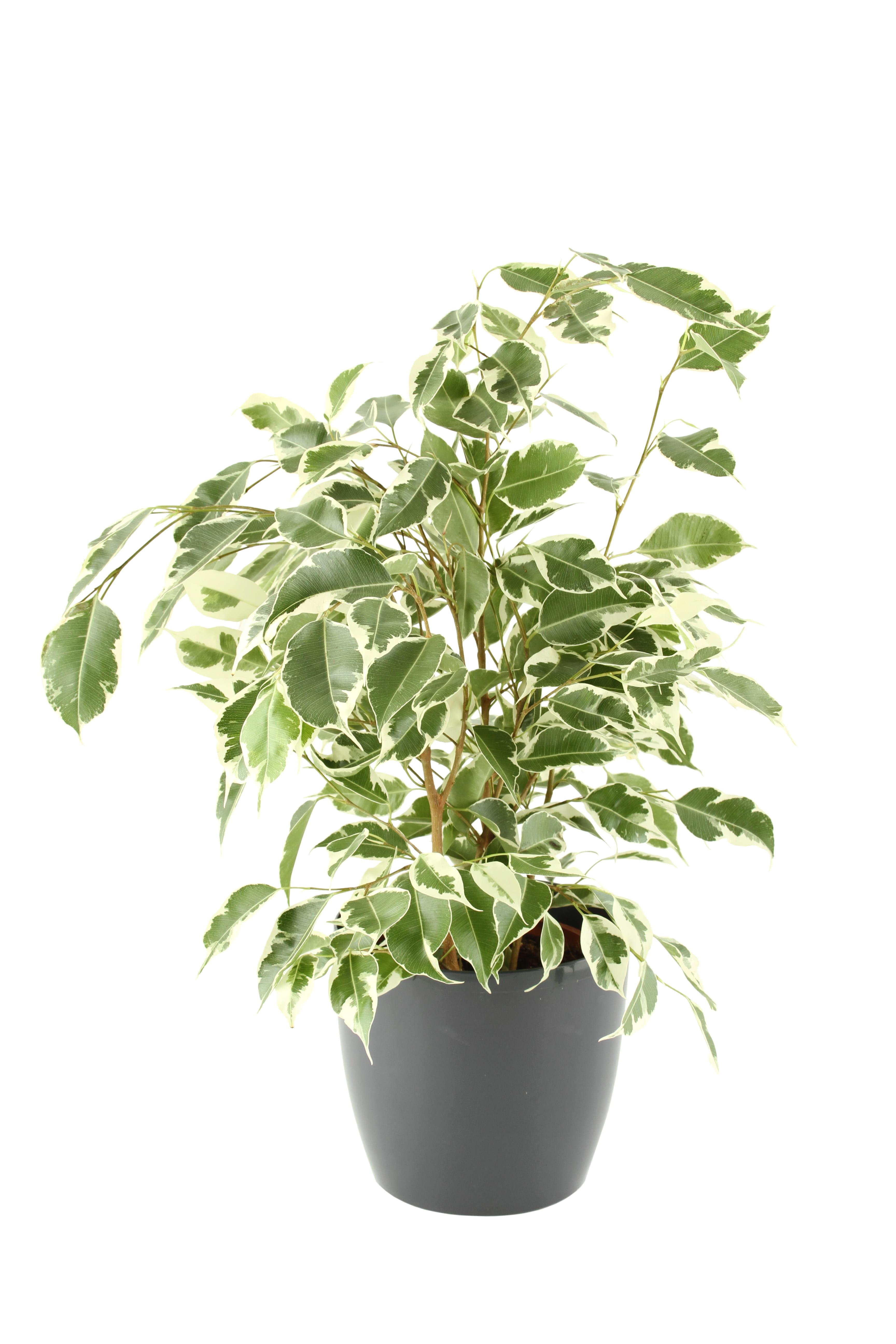 Plectranthus en pot : 10 plantes dintérieur à suspendre - Journal ...