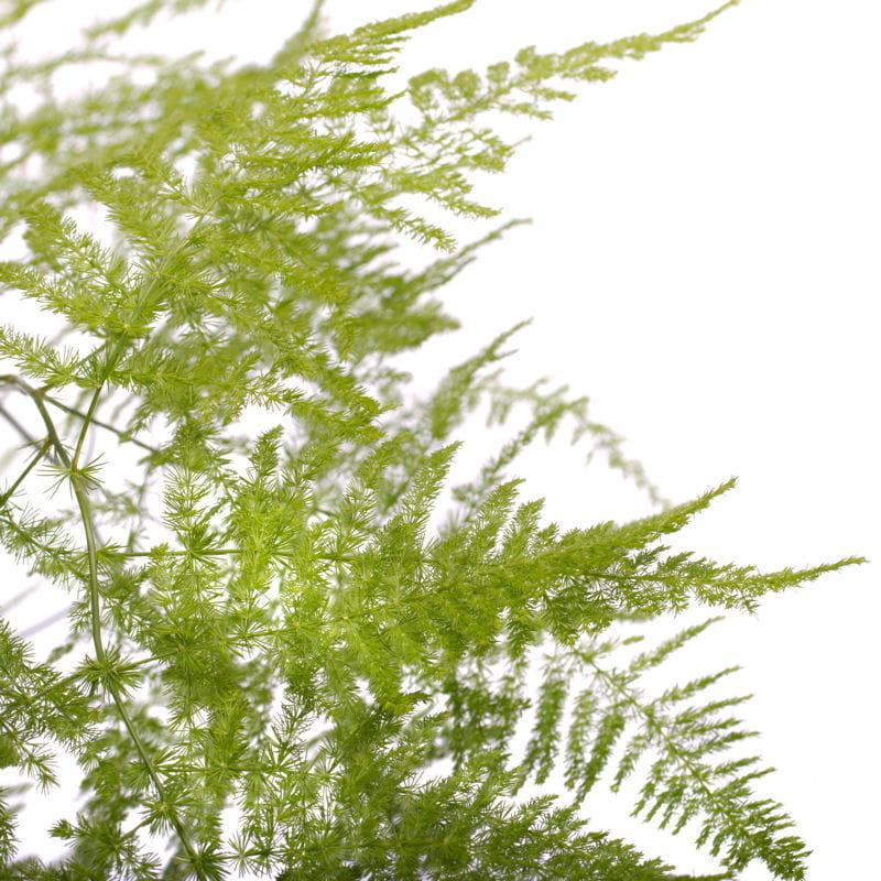 Asparagus suspendre 10 plantes d 39 int rieur suspendre for Plante a suspendre interieur