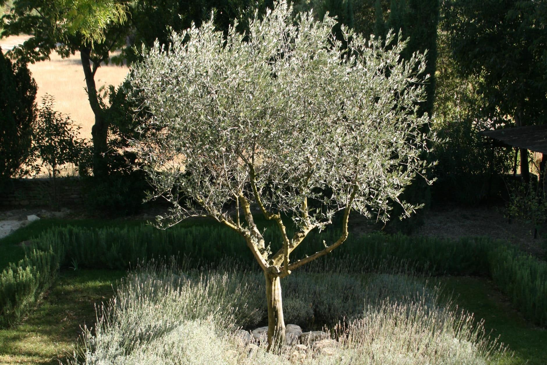 Planter un olivier journal des femmes - Comment entretenir un olivier arbre ...