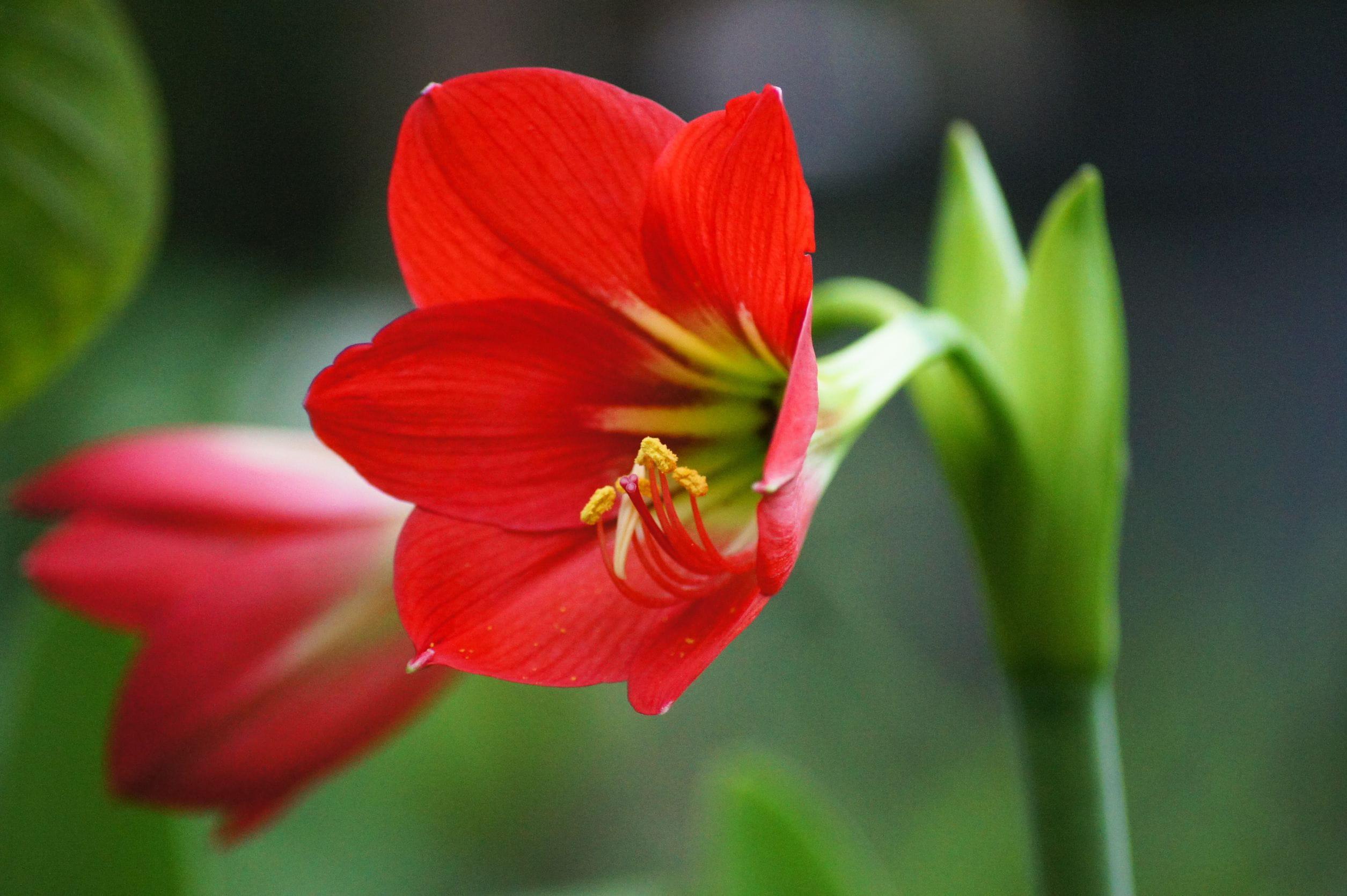 Planter une amaryllis journal des femmes for Les amaryllis