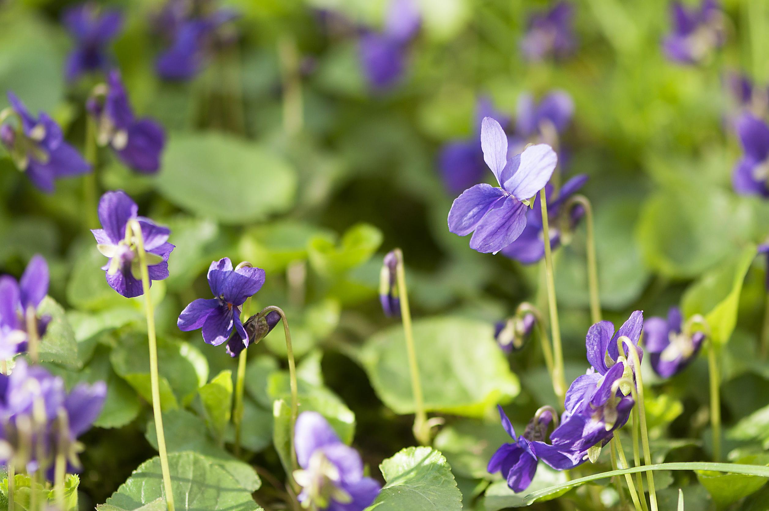 Cultiver des fleurs comestibles for Ou acheter des fleurs