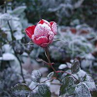 bien entretenu, le rosier peut offrir de magnifiques couleurs pendant l'hiver.