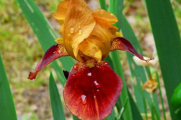 Iris une fleur incontournable au jardin des fleurs votre image journal des femmes - Langage des fleurs iris ...