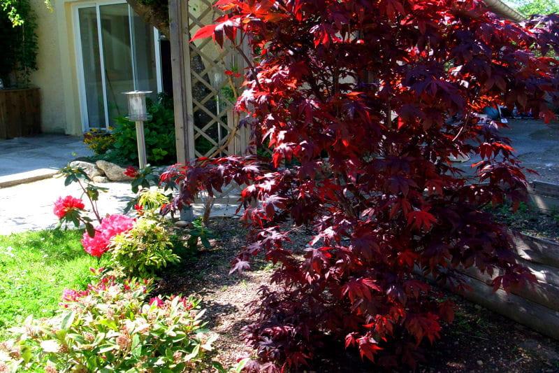 Le rouge de l 39 rable japonais le jardin color de dominique journal des femmes - Deco jardin colore le mans ...