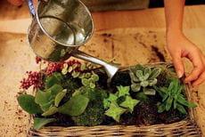 l'arrosage de plantes succulentes