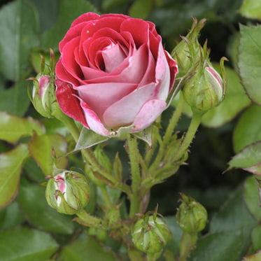 rosier buisson sch ne koblenzerin 5 roses exceptionnelles planter journal des femmes. Black Bedroom Furniture Sets. Home Design Ideas