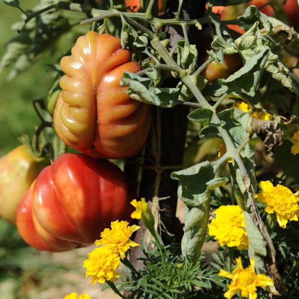 Culture des tomates tout savoir journal des femmes - Prince jardinier tomate ...