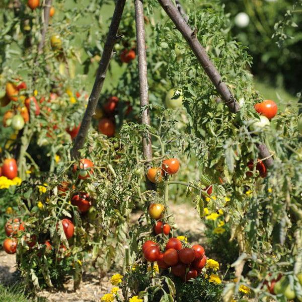 Plus de 1000 id es propos de potager et jardin gardening sur pinterest - La bourdaisiere tomates ...