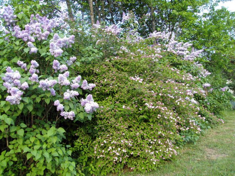 haie de lilas visitez le jardin anglais de michelle