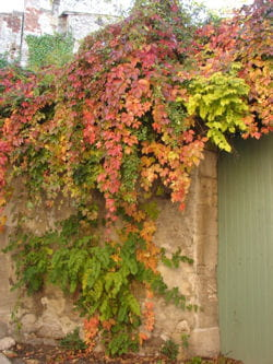 vigne vierge automne